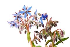Borage flowers Stock Images