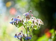 Borage Herb Stock Photo