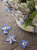 Borage, Herb Royalty Free Stock Photography