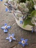 Borage, Herb royalty free stock photography