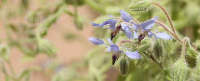 Borage Herb Detail Royalty Free Stock Images