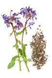 Borage Herb Stock Photography