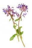 Borage Herb Flowers Imagens de Stock