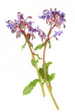 Borage Herb Flowers. Over white background. Used in alternative herbal medicine stock images