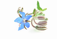 Borage isolated Royalty Free Stock Photography