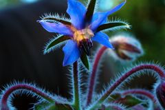 borage kwiat Fotografia Royalty Free