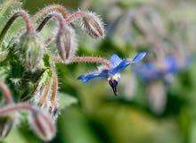 borage kwiat Zdjęcie Royalty Free