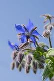 Borage kwiat makro- Zdjęcia Stock