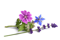 Borage mallow and lavender. Flower isolated on white Royalty Free Stock Photography