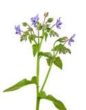 Borage (officinalis do Borago) Foto de Stock