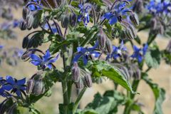 Borage, officinalis do Borago, igualmente conhecidos como o starflower fotos de stock royalty free