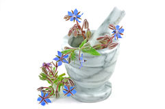 Borage in pestle and mortar. Blue borage or starflower, used in supplements, with marble pestle and mortar Royalty Free Stock Photo