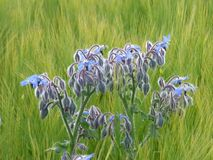 The Borage Plant. Borage, also known as a starflower, is an annual herb. It is native to the Mediterranean region and has naturalized in many other locales royalty free stock photography