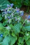 Borage plant and blossom Stock Photo
