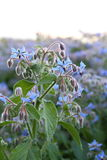 Borage plant growing in a field Royalty Free Stock Images