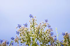 Borage plants with blue flowers royalty free stock photos