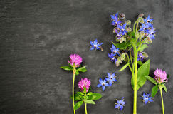 Borage and red clover Stock Image