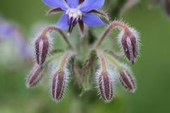 Borage roślina Zdjęcia Royalty Free