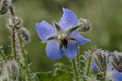 Borage, Starflower, Borago-officinalis stock foto's