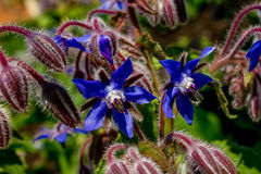 Borage w kwiacie Obrazy Stock
