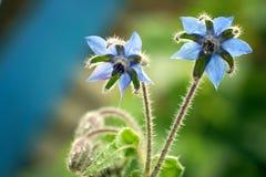 Boragen blommar i trädgården Arkivfoto
