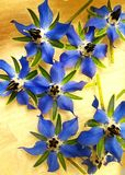 boragen blommar i vår Arkivbilder