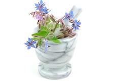 boragestarflower Arkivfoton