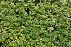 Boraginaceae Στοκ Φωτογραφία