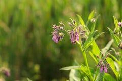 Boraginaceae, the borage plant Royalty Free Stock Image