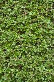 Boraginaceae. Royalty Free Stock Image