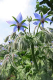 Borago o starflower (borago officinalis) Immagine Stock