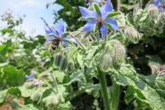 Borago o starflower (officinalis del Borago) Fotos de archivo