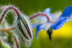 Borago officinalis Fotografia Royalty Free