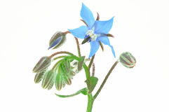 Borago Officinalis isolated Stock Photo