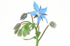 Borago Officinalis isolated Stock Photo