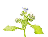 Borago officinalis L., borage Stock Image