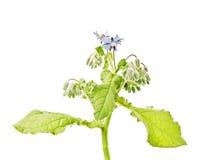 Borago officinalis L., borage Stock Image