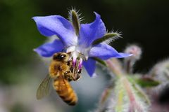 A bee lands on a Borago officinalis, or borageflower. Borage Borago officinalis, also known as a starflower, is an annual herb in the flowering plant family royalty free stock photos