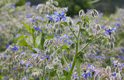 Borago Officinalis Plant Royalty Free Stock Photography