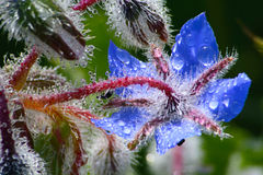 Borago officinalis Stock Photo