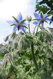 Borago of starflower (Borago-officinalis) Stock Afbeelding