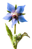 Boragoofficinalis Arkivfoton
