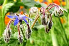 Boragoofficinalis, als borage, bloei meer in het algemeen wordt bekend die royalty-vrije stock fotografie