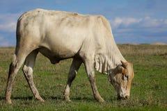 Boran krowy pasanie zdjęcia royalty free