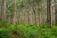 Boranup Forest 1 Royalty Free Stock Photos
