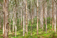 Boranup Karee Forest Stock Images