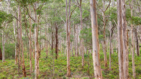 Boranup Karee Forest Stock Images
