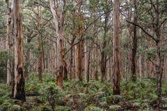 Boranup las blisko Margaret Rzecznej zachodniej australii z poroślem Zdjęcie Royalty Free
