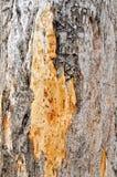 Boranup las: Drzewni cyzelowania Zdjęcie Royalty Free