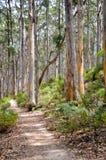 Boranup Lasowa ścieżka w Karri drzewach Zdjęcia Stock